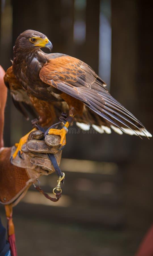 Parabuteo unicinctus - Harris`s hawk - Buzzard of Harris. Laid on the falconer`s glove royalty free stock image