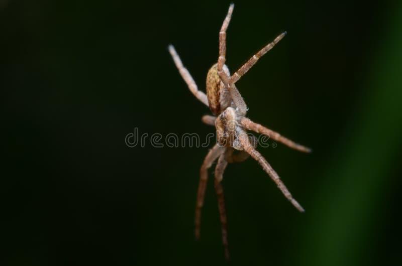 Paracaidista de la araña Levitación de la araña Philodromus dispar fotografía de archivo libre de regalías