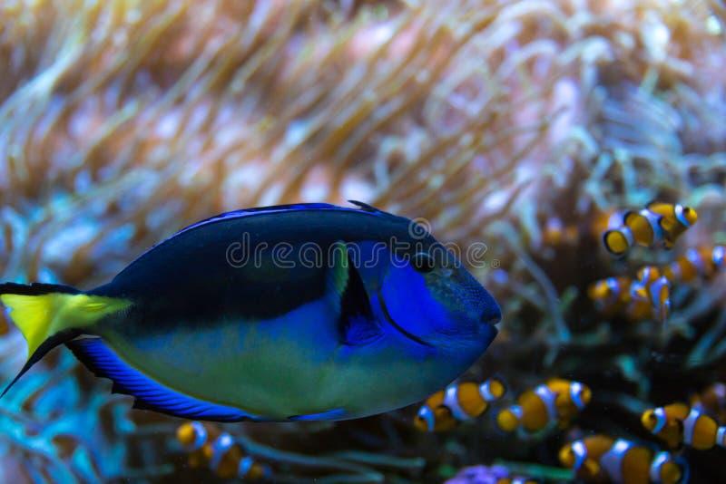 Paracanthurus-hepatus, berühmter exotischer Fisch im Aquarium stockfoto