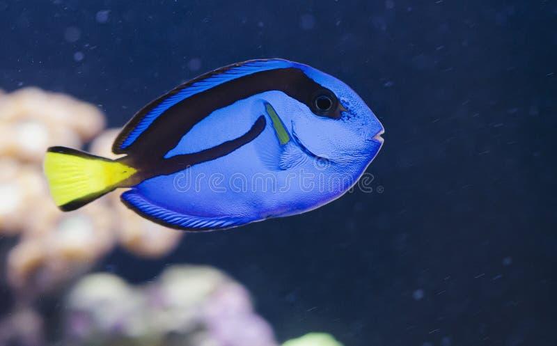 Paracanthurus Hepatus Exotic Fish stock afbeeldingen