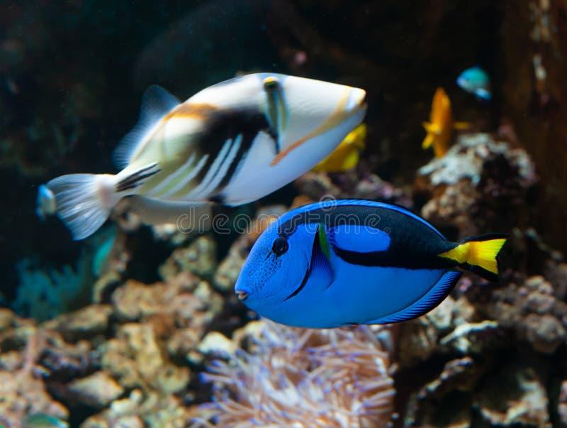 Paracanthurus hepatus o Surgeonfish della tavolozza fotografia stock libera da diritti