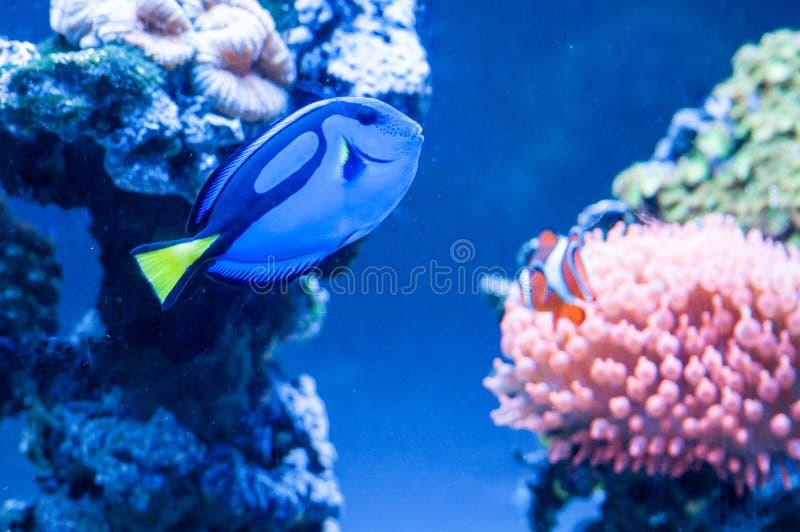 Paracanthurus-hepatus, schöne blaue Fischschwimmen im Aquarium mit königlichen clownfish im Hintergrund lizenzfreie stockbilder