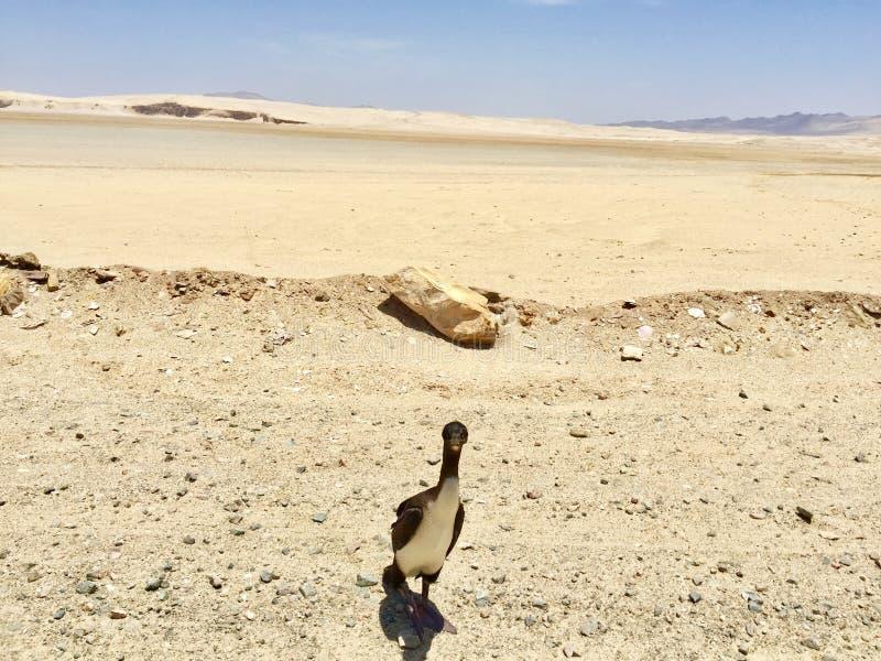 Paracas - le Pérou Vue animale photographie stock