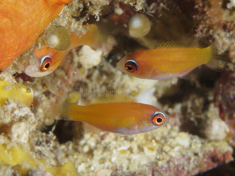 Paracheilinus sp. In Bohol sea Philippines stock photography