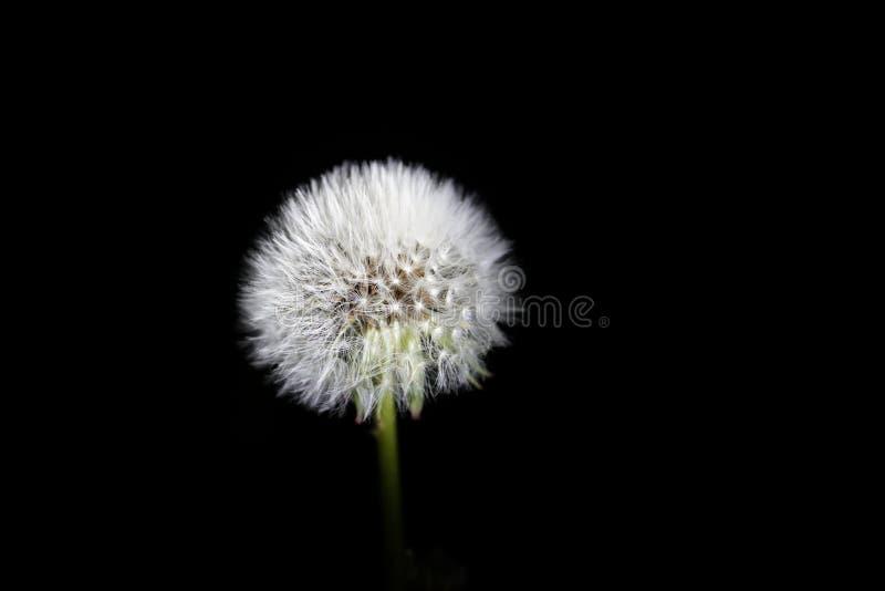 Parachute ball of dandelion on black background royalty free stock photo