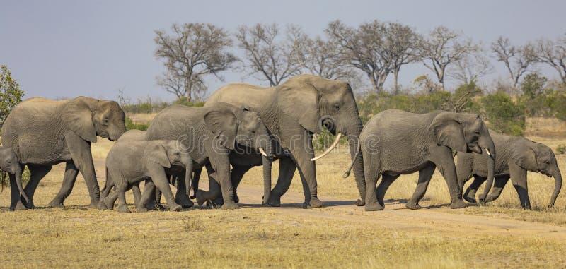 Parada de elefantes africanos, africana do Loxodonta, na paisagem natural com árvores e arbustos no fundo fotografia de stock royalty free