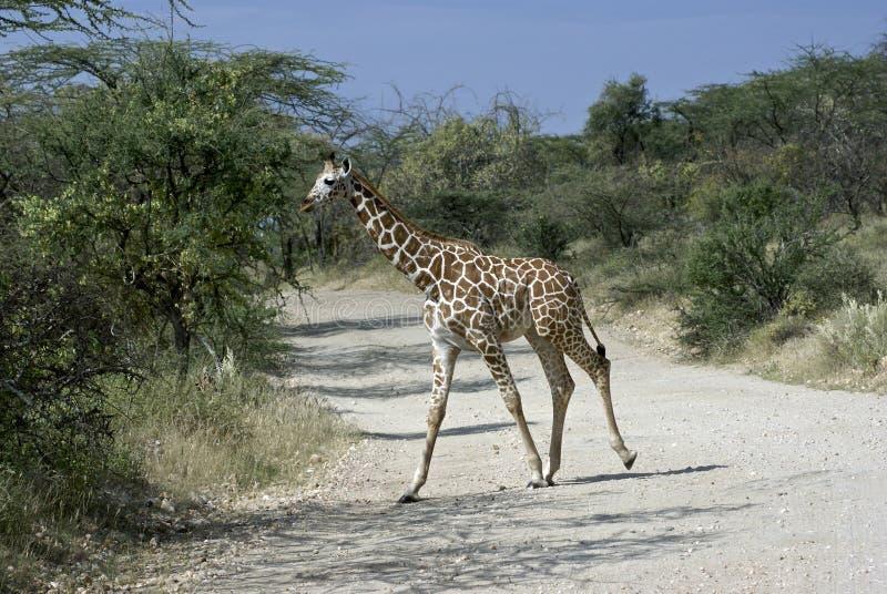 Parada: Girafa na maneira fotos de stock