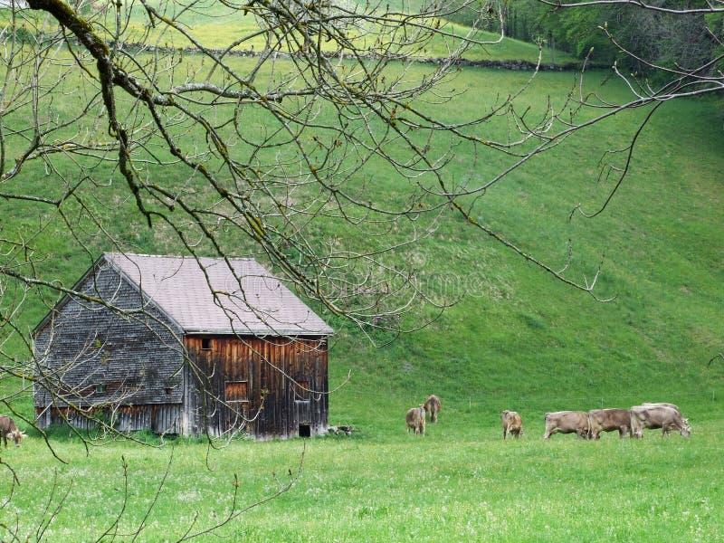 Paradas y vacas de madera en el pasto en Unterwasser imagenes de archivo