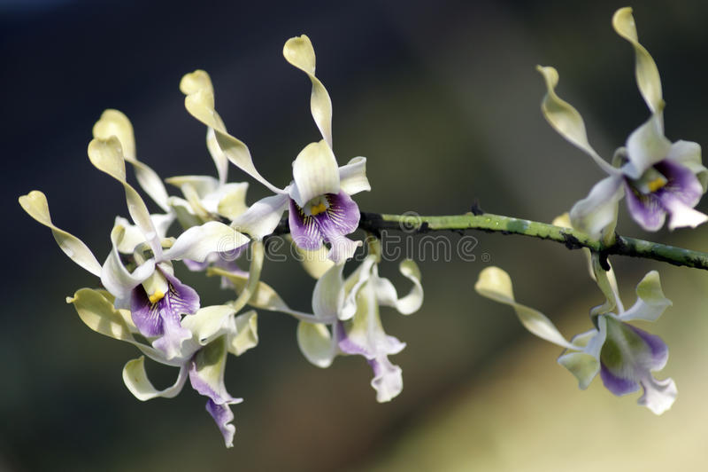 Paradiesbasisrecheneinheiten. Orchideen von Borneo. lizenzfreies stockbild
