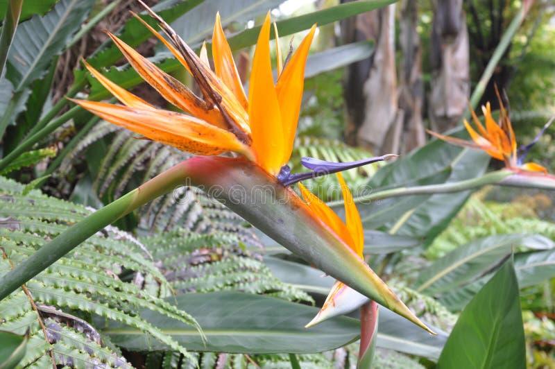 Paradiesvogel Abschluss der Blume oben lizenzfreie stockfotografie