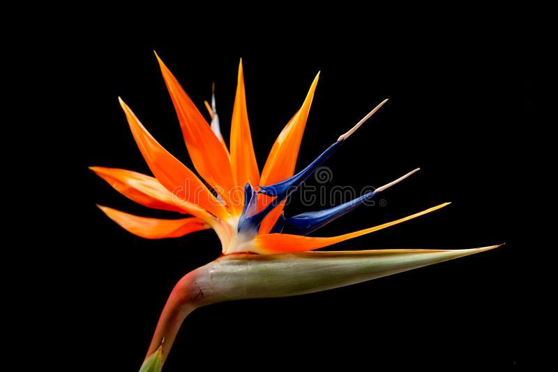 Paradiesvogel Blume stockfotos