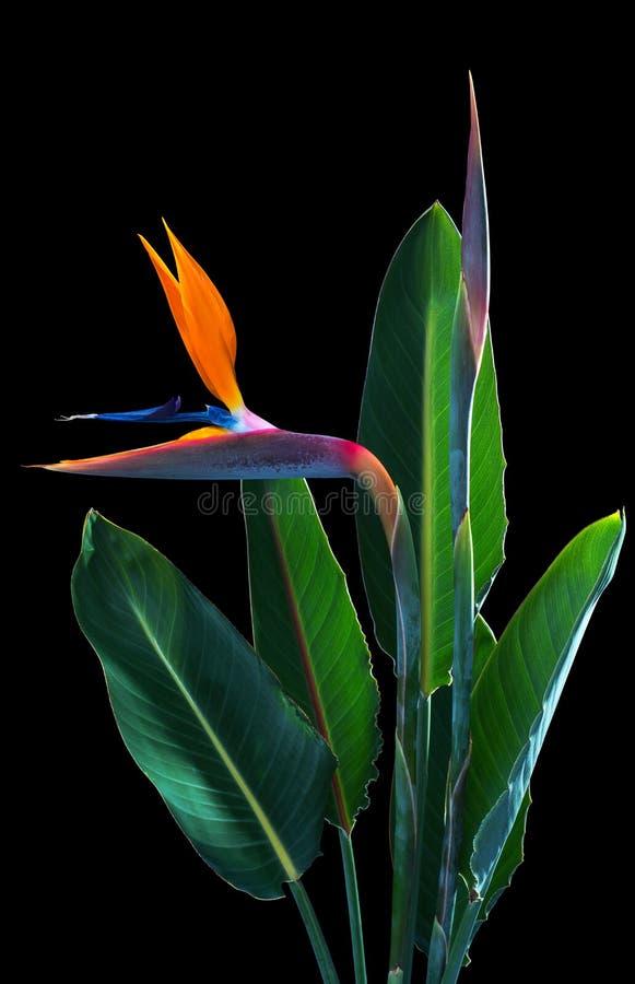 Paradiesvogel Blumen und Blätter stockbilder
