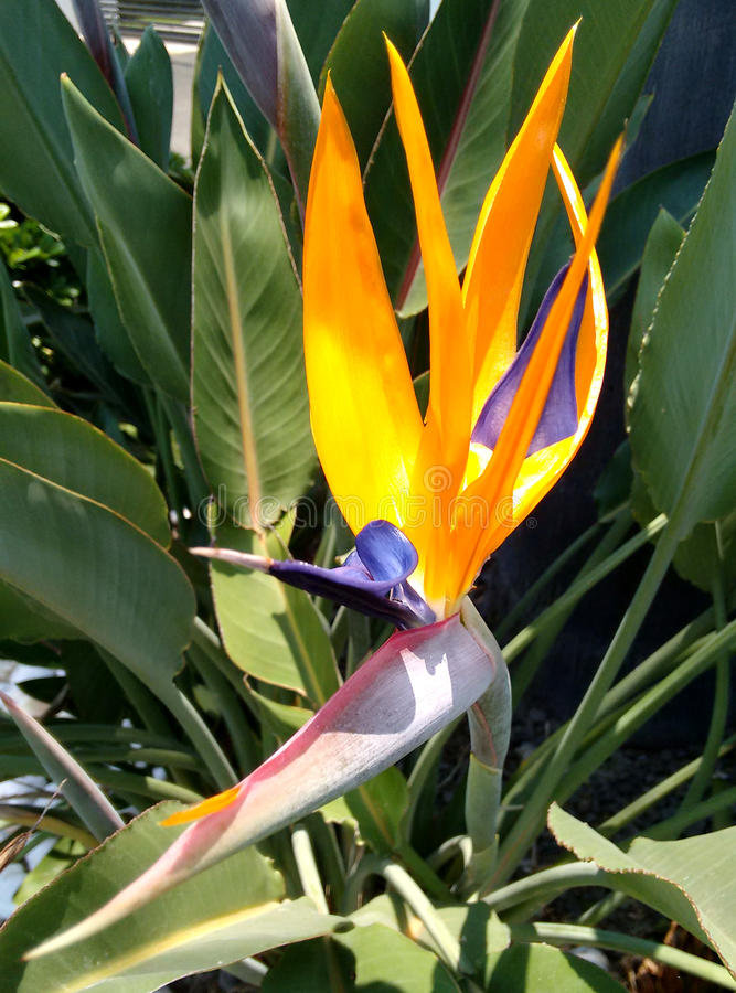 Paradiesvogel Schönheit stockfotografie