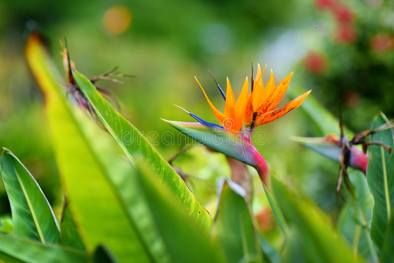Paradiesvogel tropische Blume, berühmte Anlage fand auf Insel von Hawaii lizenzfreies stockfoto