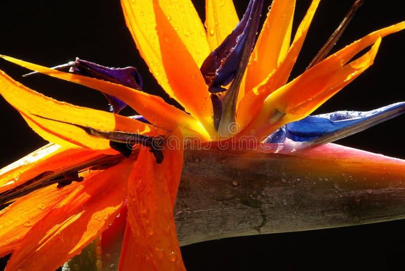 Paradijsvogel 05 stock afbeelding