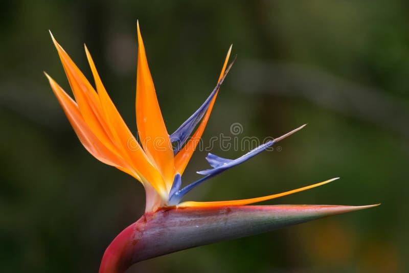 Download Paradijsvogel stock foto. Afbeelding bestaande uit botanisch - 277346