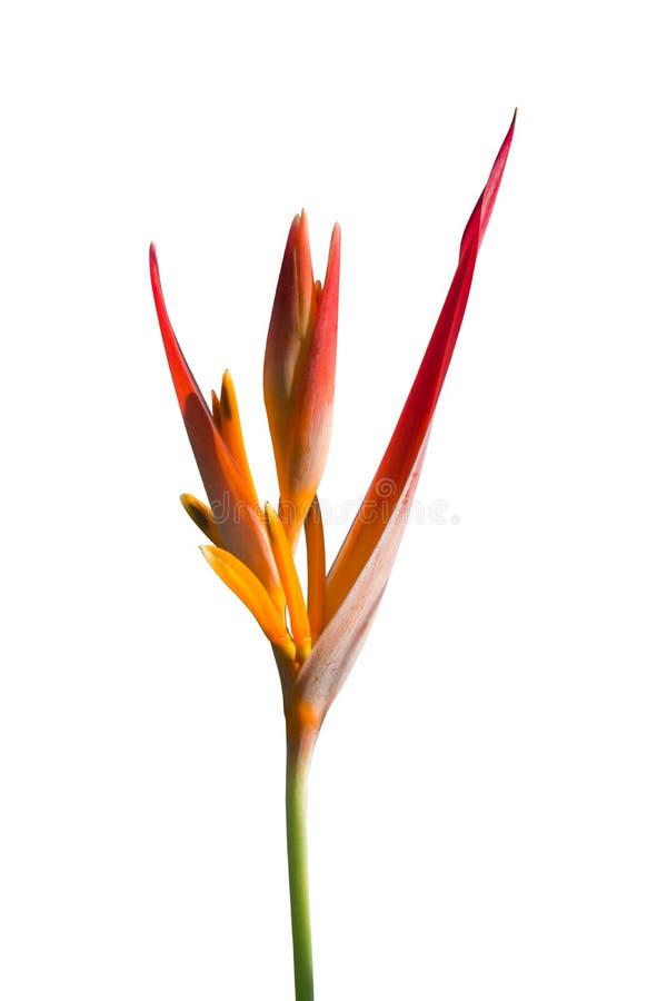 Paradijsvogel bloem op wit wordt geïsoleerd dat royalty-vrije stock foto