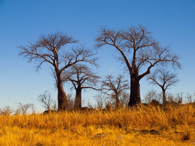 Paradis de baobab près de Savuti photographie stock