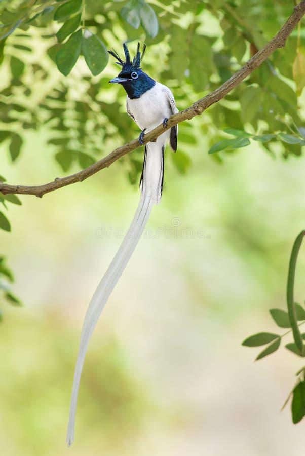 Paradis-FLYCATCHER asiatique - Terpsiphone paradisi photographie stock libre de droits