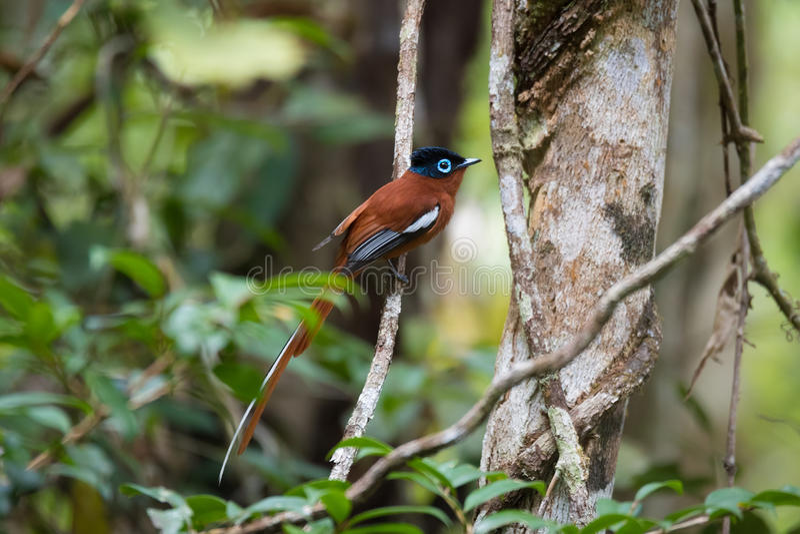 Paradis-FLYCATCHER du Madagascar, mutata de Terpsiphone photographie stock libre de droits