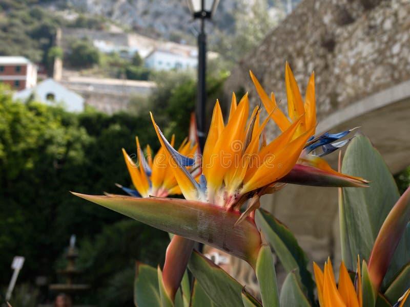 paradis tenerife för fågelkanariefågelö royaltyfri bild