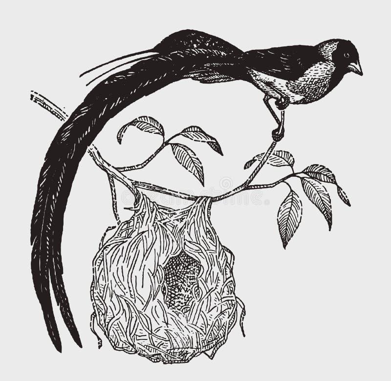 Paradisaea de cola larga masculino del vidua del whydah del paraíso que se sienta en una rama sobre su jerarquía ilustración del vector