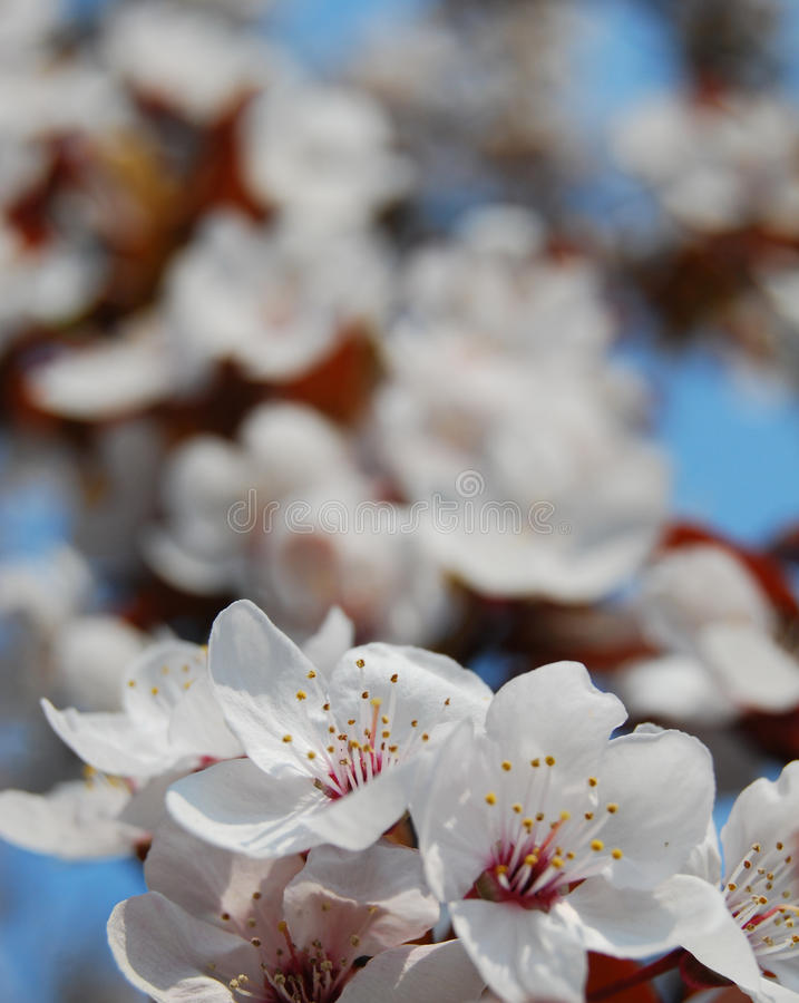 Paradise Apple Tree In Blossom Stock Image