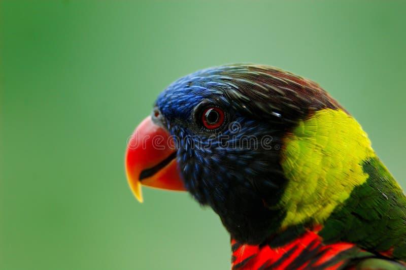 Paradise bird stock image