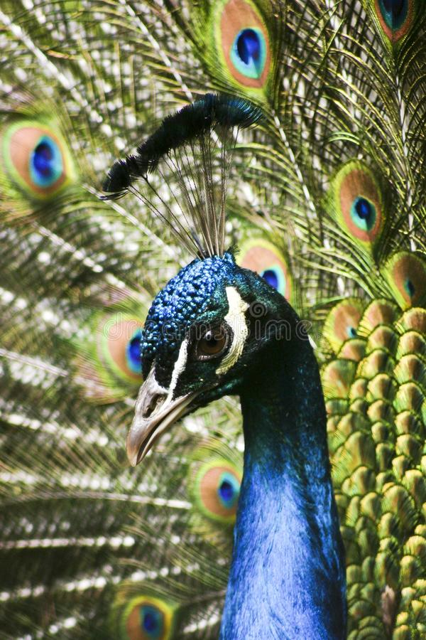 Paradise bird peacock. A picture of a paradise bird peacock flaunting its iridescent colorful train and plumage royalty free stock photo