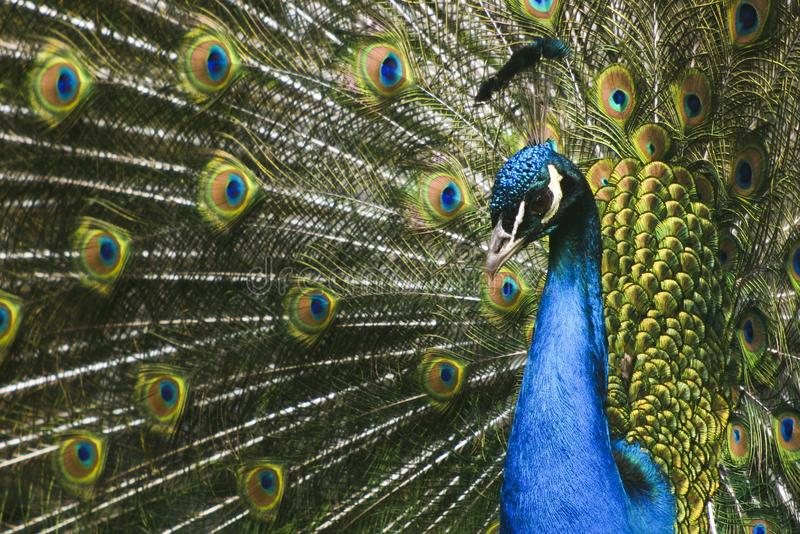 Paradise bird peacock. A picture of a paradise bird peacock flaunting its iridescent colorful train and plumage stock images
