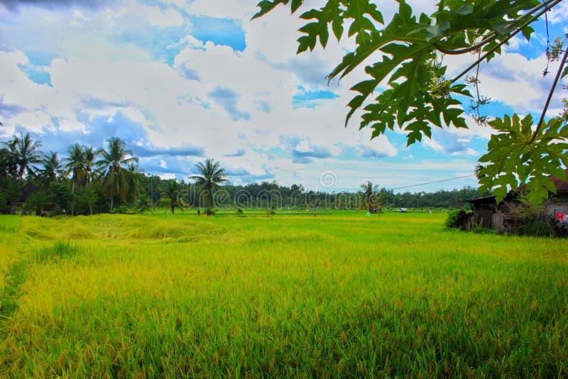 Paradise de paysage tropical de paddy de gisement de riz de secteur photos stock