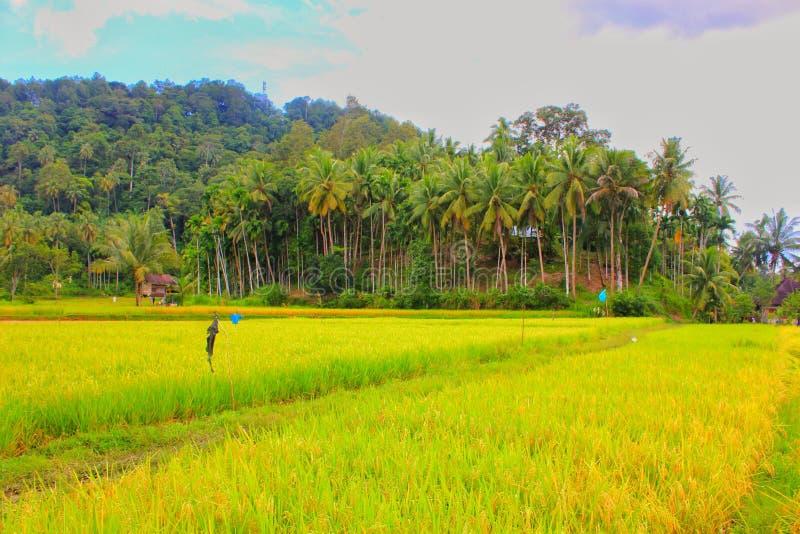 Paradise de paysage tropical de paddy de gisement de riz de secteur images libres de droits