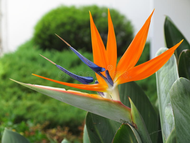 Paradise flower close-up. Close-up of the orange and blue blossoms of a bird-of-paradise flower, Strelitzia. Vegetation in Australia royalty free stock photo
