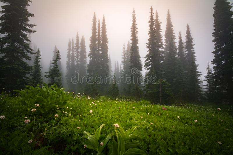 Paradise. A foggy view in Mt. Rainier National Park royalty free stock photo