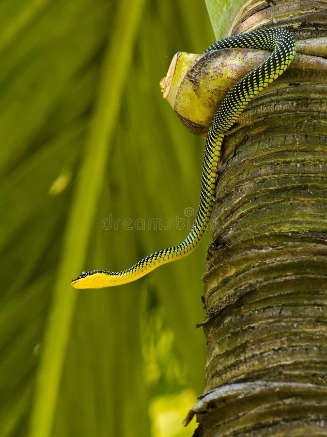 Free Paradise Tree Snake Royalty Free Stock Image - 3273276