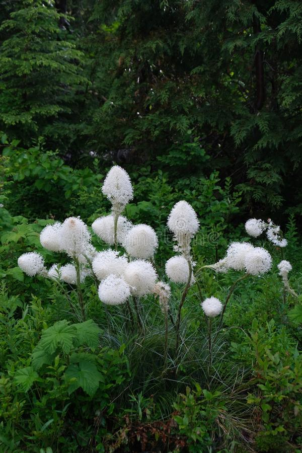 Bear grass in rain forest in Mount Rainier National Park. stock images