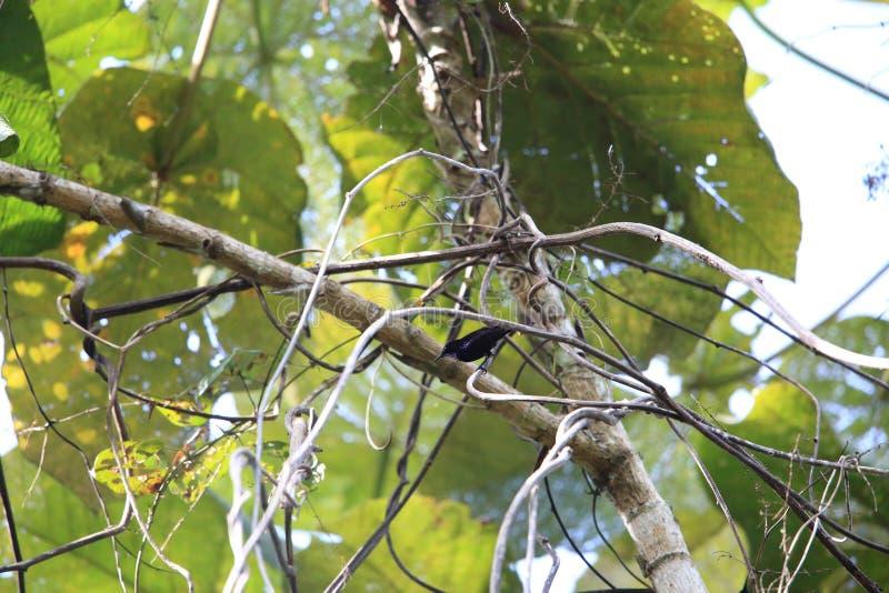 Paradiso-corvo di Halmahera immagini stock