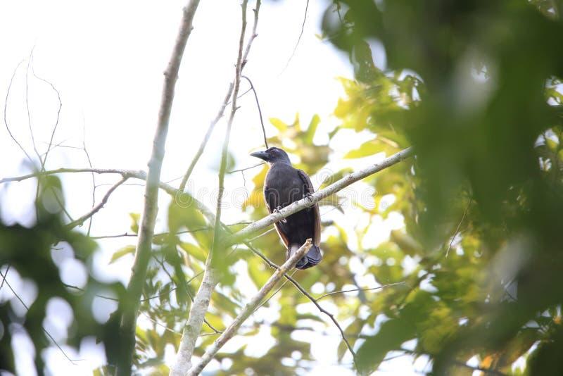 Paradiso-corvo di Halmahera fotografia stock libera da diritti