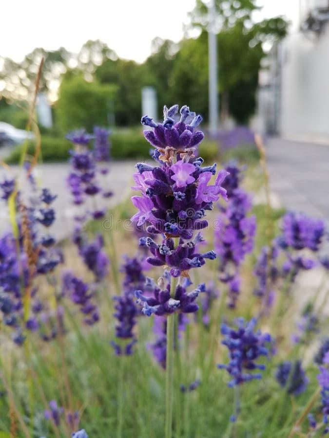 Paradiso del fiore di Lilandes immagini stock