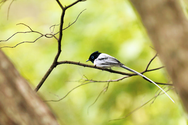 Paradiso-flycatcher del Madagascar fotografie stock