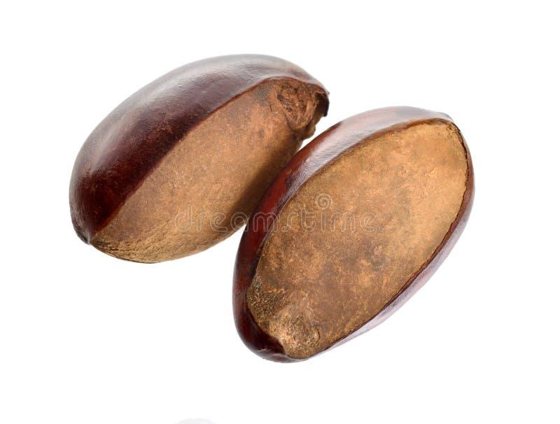 Paradoxa de Vitellaria de deux écrous, généralement connu sous le nom d'arbre de bassie ou arbre de shi, Karite D'isolement sur l photographie stock