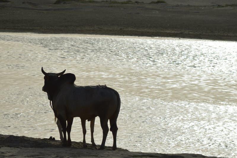 Parafuso prisioneiro Bull que relishing a Índia santamente do rio foto de stock