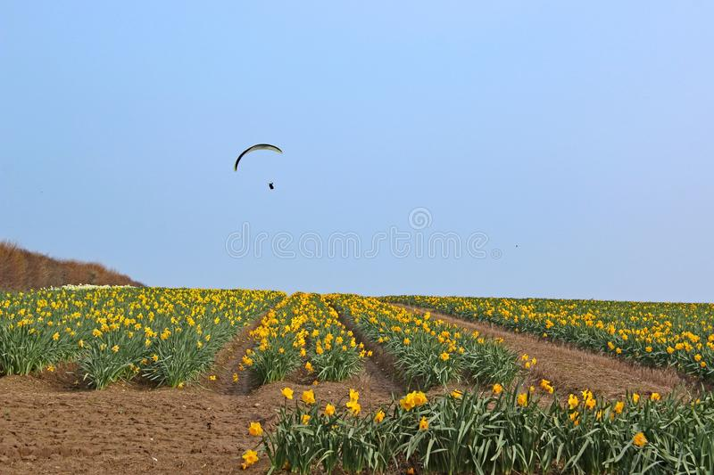 Paraglider flying above a field of daffodils royalty free stock image