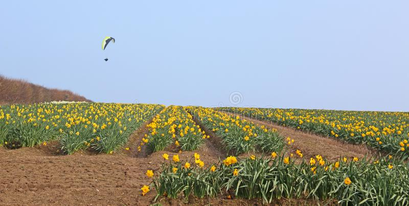 Paraglider flying above a field of daffodils. In Cornwall royalty free stock photos
