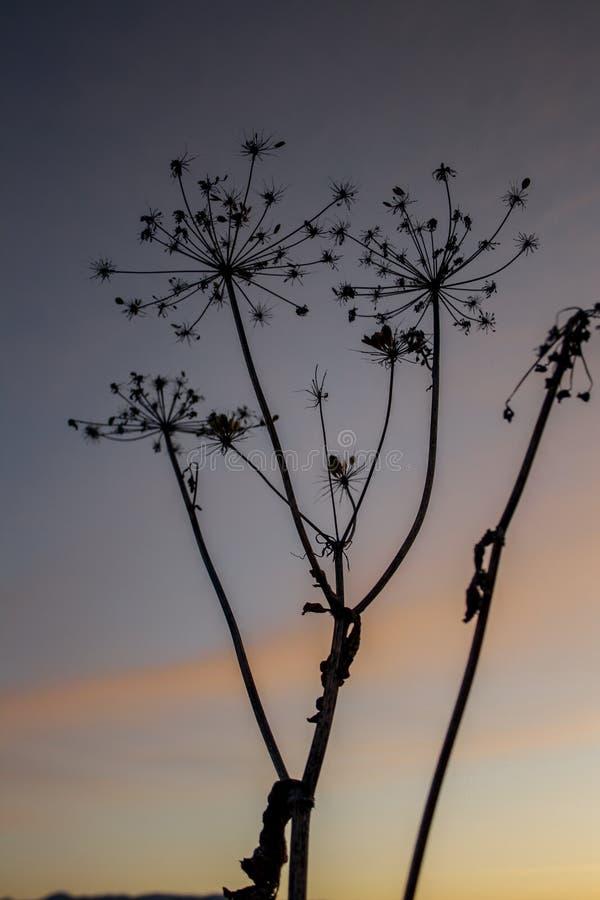 Paraguas de la hierba contra el cielo de la puesta del sol imagenes de archivo