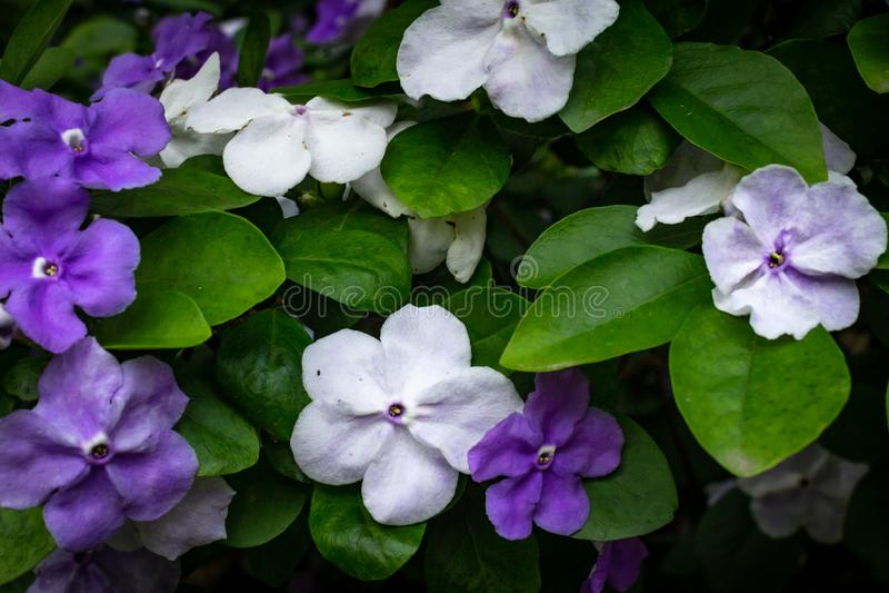 Paraguayansk jasminväxt med vita och violetta blommor royaltyfri bild