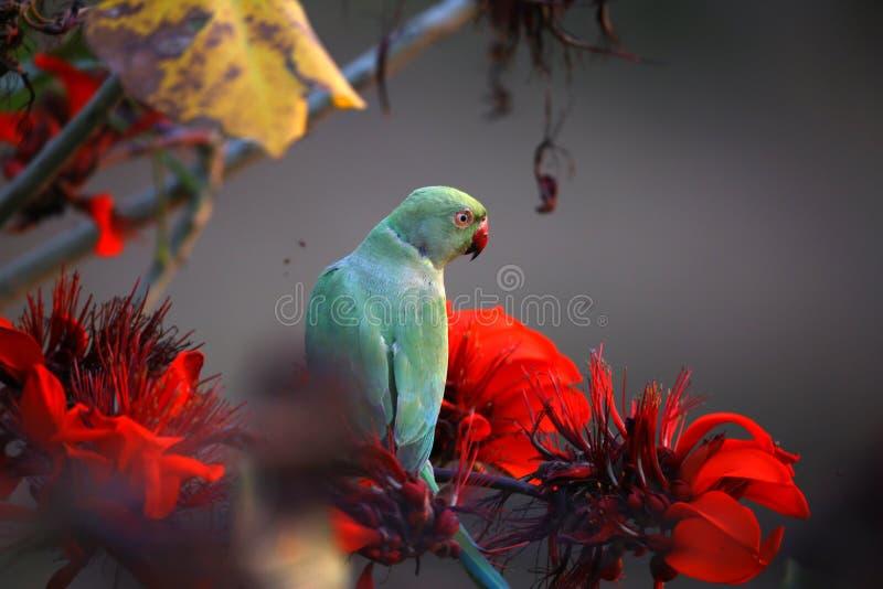 parakeet стоковое изображение rf