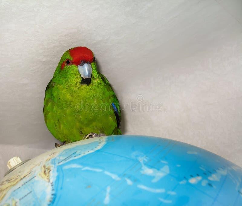 Parakeet увенчанный красным цветом Сидеть на глобусе карты мира стоковая фотография rf