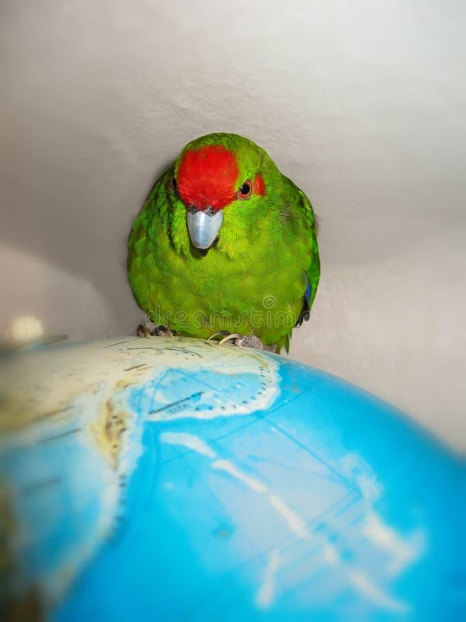 Parakeet увенчанный красным цветом Сидеть на глобусе карты мира стоковая фотография