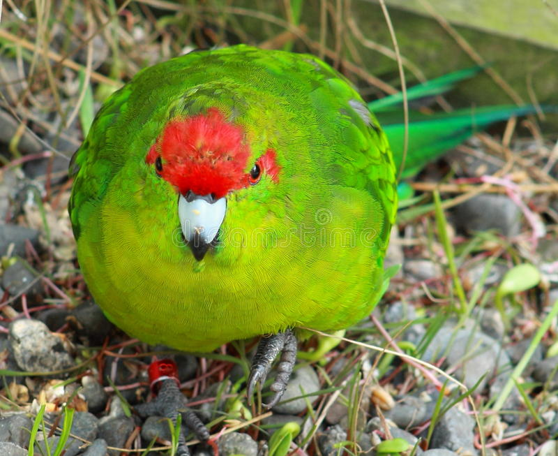Parakeet увенчанный красным цветом стоковые фото